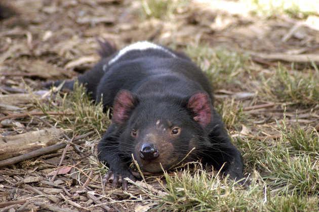 Beim Tasmanischen Teufel sind eigentlich springende Gene stillgelegt. Image credit: © Wayne McLean ( jgritz) (Source: Wikipedia)