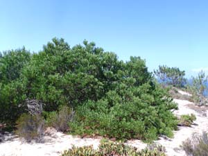 Acacia longifolia. Foto credit: Christine Hellmann