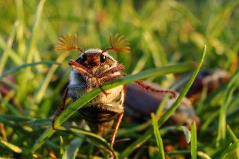 Maikäfer und besonders ihre Engerlinge machen der Landwirtschaft oft schwer zu schaffen. (Bild credit: pixabay/mkoziol)
