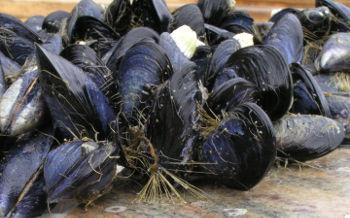 Trossulus byssus mussels. Image credit: Emily Carrington