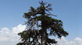 This Bosnian pine, dubbed Adonis, is the oldest known living tree in Europe. The tree is more than 1,075 years old. (Photo credit: Oliver Konter/University of Mainz, Germany)