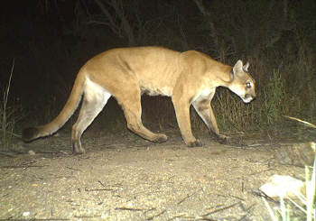 A camera trap image of a cougar in Saguaro National Park, Arizona. Image credit: Saguaro National Park (Source: Wikipedia)
