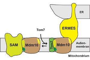 Das Protein Mdm10 spielt am SAM-Komplex eine Rolle im Proteintransport und ist der mitochondriale Membrananker des ERMES-Komplexes, der eine molekulare Brücke zwischen dem ER und den Mitochondrien ausbildet. Grafik credit: Arbeitsgruppe Becker/Universität Freiburg