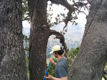 UA geosciences doctoral student Matthew Meko cores a Bosnian pine. He was part of the 2016 expedition that determined that a Bosnian pine is the oldest known living tree in Europe. (Photo credit: Soumaya Belmecheri/UA Laboratory of Tree-Ring Research)
