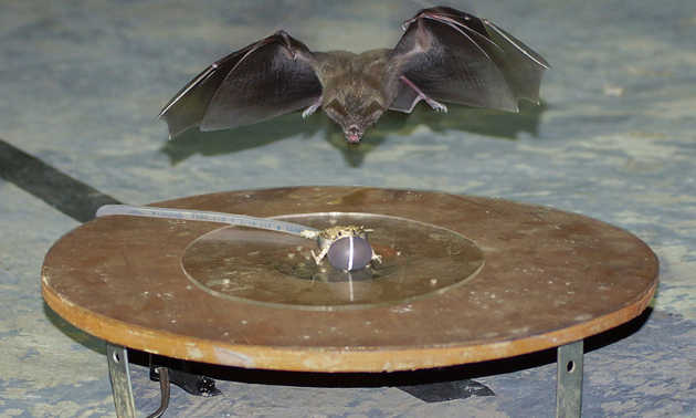 Fringe-lipped bat attacks the robofrog. Image credit: Rachel Moon