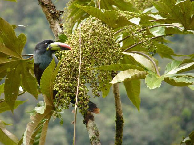 Große fruchtfressende Vögel wie der Blautukan (Andigena hypoglauca) sind für die Verjüngung vielfältiger Tropenwälder essentiell. Image copyright: Matthias Schleuning, Senckenberg