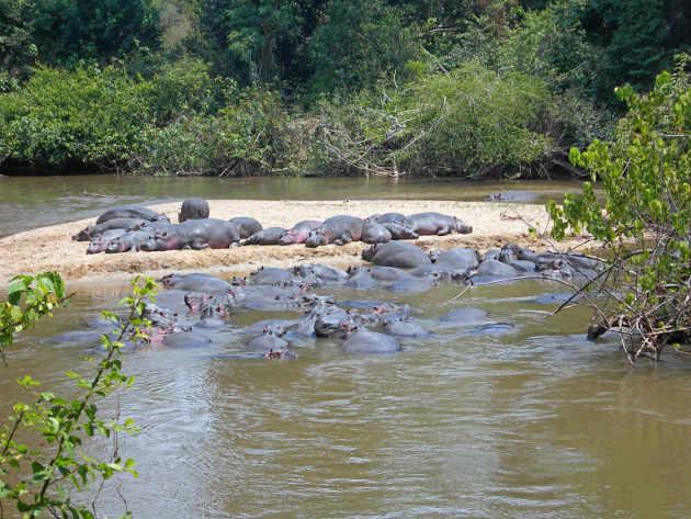 Hippos in Queen Elizabeth National Park, 2009. Photo credit: Vogelfreund (Source: Wikipedia)