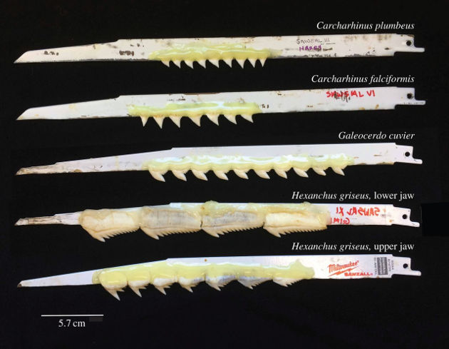 Shark teeth were attached to reciprocating saw blades using epoxy. Image credit: University of Washington