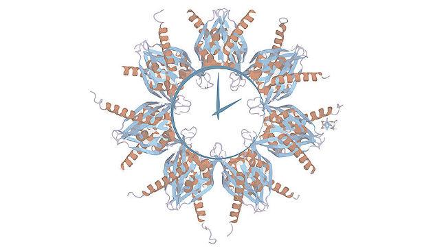 Alternative Splicing-Varianten des Enzyms CaMKII bewirken eine Beschleunigung oder Verlangsamung der circadianen Uhr (Image copyright: Birgit Pöhn)