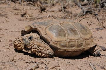 ...und die Chaco-Schildkröte aus Südamerika. Image credit: © Peter Praschag