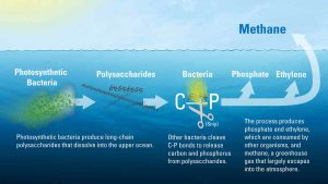 The new study determined that much of the ocean's dissolved organic matter is made up of novel polysaccharides—long chains of sugar molecules created by photosynthetic bacteria in the upper ocean. Bacteria begin to slowly break these polysaccharides, tearing out pairs of carbon and phosphorus atoms from their molecular structure. In the process, the microbes create methane, ethylene, and propylene gasses as byproducts. Most of the methane escapes back into the atmosphere. Illustration by Eric Taylor, Woods Hole Oceanographic Institution (Click image to enlarge)
