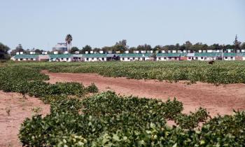Sojafelder in Las Lajitas, im Hintergrund sind Sozialbauten zu sehen. (Image credit: Robert Hafner)