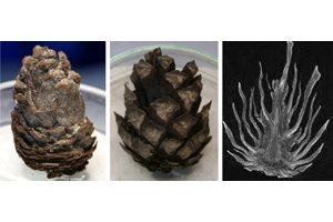 Fotos der in der Studie untersuchten Zapfen von Keteleeria spec. (links) und Pinus spec. 1 (Mitte) sowie röntgen-computertomographische Aufnahme des Zapfens von Pinus spec. 2 (rechts). Fotos credit: © Plant Biomechanics Group
