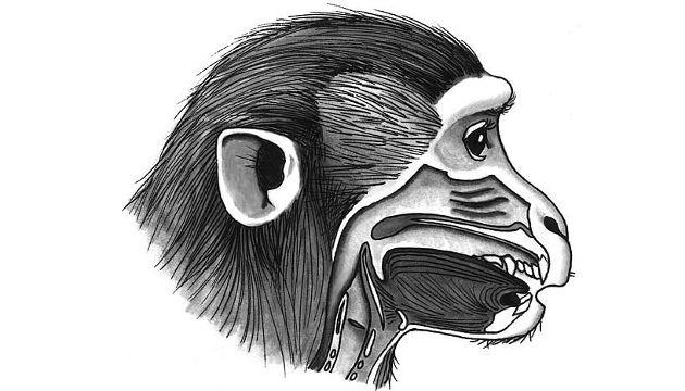 Mit ihrem Vokaltrakt wäre es für Affen ein Leichtes, viele verschiedene Sprachlaute zu produzieren (Image copyright: Tecumseh Fitch/Universität Wien).
