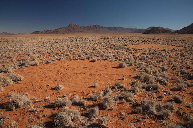 Namibian fairy circles (above) — round patches of desert sand, 2 to 35 meters (6.5 to 114 feet) in diameter, surrounded by rings of tall grass — may result from two mechanisms: termite activity and plant self-organization. Termites remove plants to create the bare discs, which increases the moisture content of the soil within the circles. This enables surrounding plants to thrive, producing the characteristic tall rings of grass. The landscape-wide hexagonal layout emerges from territorial warfare between neighboring termite colonies. (Photo by Jen Guyton, Department of Ecology and Evolutionary Biology)