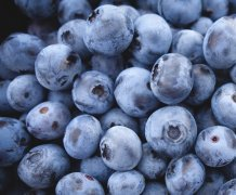 The study gave people a daily drink of blueberry concentrate, providing the equivalent of 230g of blueberries. Image credit: University of Exeter
