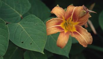 Die gerne in Gärten gepflanzte gelbrote Taglilie gilt in Mitteleuropa als eingebürgert und wurde über eine Entfernung von etwa 10.000 km aus Ostasien importiert (Image copyright: Franz Essl)