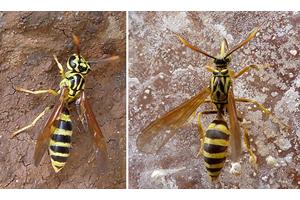 Fast vollkommene Ähnlichkeit: Wespe (links) und Falter sind kaum zu unterscheiden. Foto credit: Michael Boppré