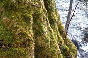 Mit Moos bewachsener Baumstamm: Ein internationales Forschungsteam hat den Reaktionsweg entschlüsselt, mit dem die kleine Pflanze ihre äußere Schutzschicht ausbildet. Foto credit: Ralf Reski