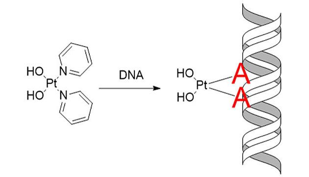 In der Zelle angekommen, bindet der Wirkstoff Pt103 bevorzugt an die Nukleobase Adenin, einem der Bausteine des Erbguts (Image copyright: Juan J. Nogueira, Universität Wien).