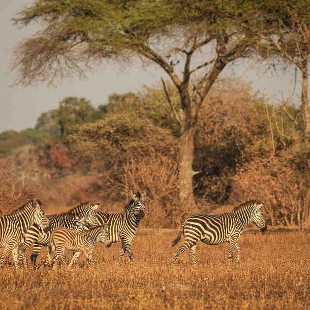 Zebraherde in der afrikanischen Savanne. Image copyright: Thomas Müller