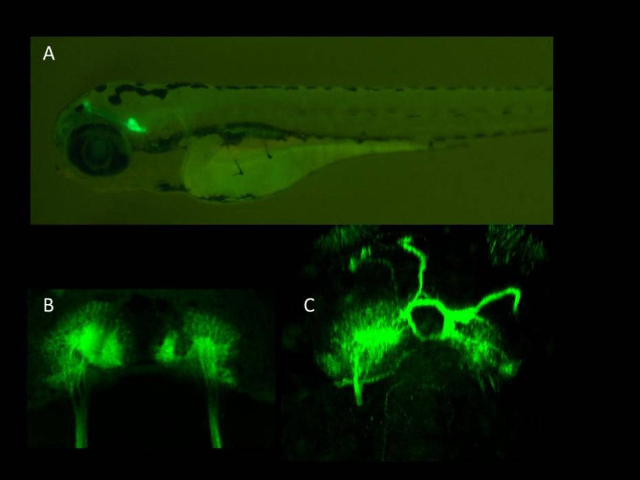 A. Labeled habenular neurons in theforebrain of larval zebrafish connected to their midbrain target. B. Dorsal view of the left-right asymmetric habenular region in a normal larva and in C. one lacking chemokine signaling, where many neurons are misrouted and project in the wrong direction. Images are courtesy of Courtney Akitake and Sara Roberson (Click image to enlarge)