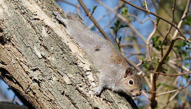 Das aus Nordamerika stammende Grauhörnchen ist in Italien und besonders in Großbritannien weit verbreitet. Es verdrängt dort zunehmend das heimische Eichhörnchen (Copyright: T. Blackburn).