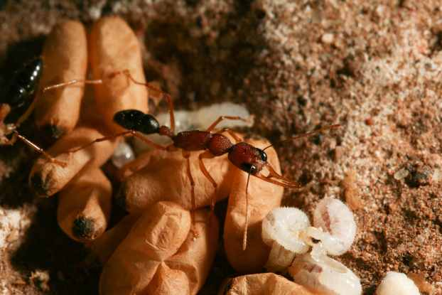 Inside the nest, a jumping ant worker keeps watch over developing larvae and pupal cocoons. Photo credit: Clint Penick.