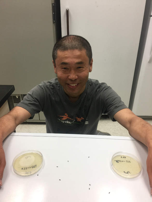 Postdoctoral researcher Shinichiro Enomoto with weevils (black) and plates containing benign (left) and harmful (right) mutants of S. praecaptivus.PHOTO CREDIT: Courtesy Colin Dale
