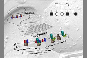 Schematische Darstellung der AMPA-Rezeptor-Biogenese im Endoplasmatischen Retikulum mit anschließendem Transport in die Synapsen. Rechts oben: Stammbaum einer der entdeckten FRRS1l Familien. Grafik credit: Bernd Fakler