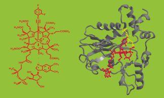 In der Zelle baut das Enzym CblC Vitamin B12 um. (Image credit: Uni Innsbruck)