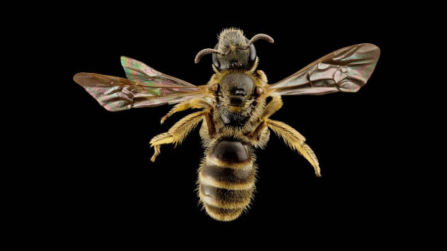 As bees' social behavior evolved, their complex chemical communication systems evolved in concert. An international team of researchers, including those from Princeton University, reported that a certain species of bees, called halictid bees, have more sensorial machinery compared with related solitary species. The difference is measured by the density of tiny, hollow sensory hairs called sensilla on their antennae. Photo courtesy of Sam Droege, U.S. Geological Survey