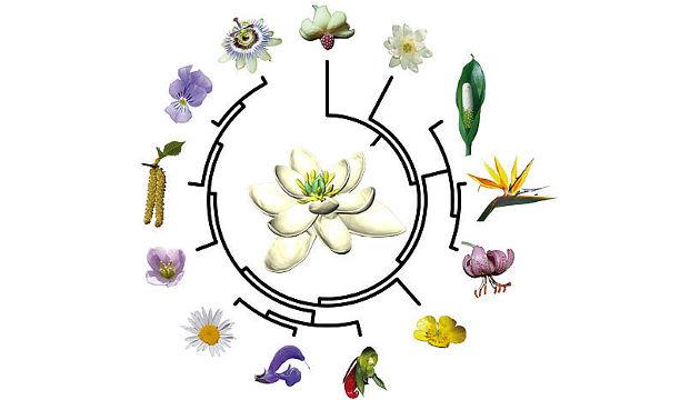Die ForscherInnen haben auch rekonstruiert, wie die Blüten an allen anderen Schlüsselstellen im evolutiven Stammbaum der Blütenpflanzen ausgesehen haben (Image copyright: Hervé Sauquet/Jürg Schönenberger).