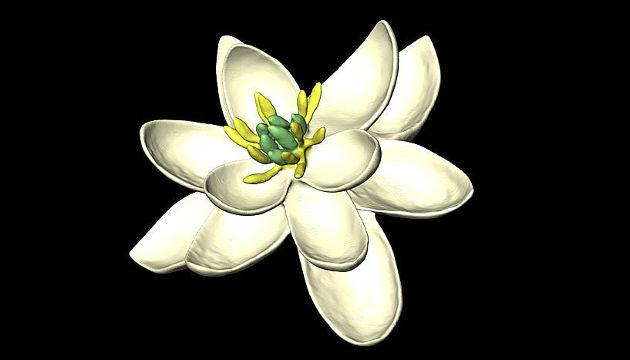 Die Ur-Blüte war zweigeschlechtlich und hatte eine Blütenhülle von in Dreierkreisen angeordneten, kronblattähnlichen Organen (Image copyright: Hervé Sauquet/Jürg Schönenberger).