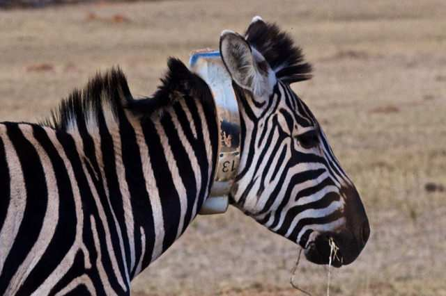 Zebra fitted with a sensor to detect threats from rhino poachers. Image credit: IBM