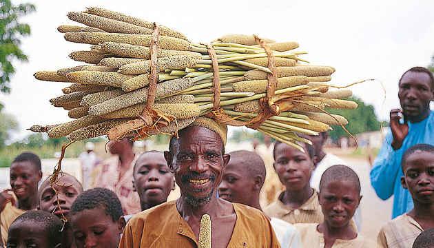 Bauern bei der Perlhirseernte (Image copyright: ICRISAT).