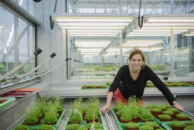 Die Pflanzengenetikerin Marja Timmermans im Gewächshaus mit Arabidopsis-Pflanzen. Foto credit: Gunther Willinger/Universität Tübingen