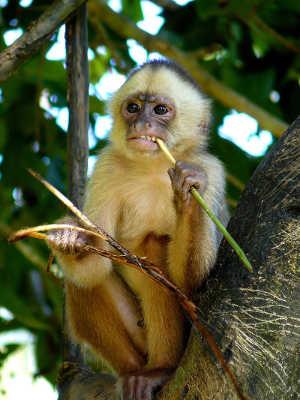 White-faced capuchin monkey. Image credit: Whaldener Endo (Source: Wikipedia)