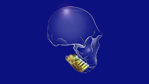 H. naledi teeth in mandible. Image credit: Alice Harvey