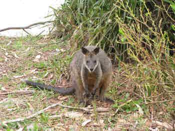 Das Sumpf-Wallaby (Wallabia bicolor) ist näher mit den restlichen Wallaby-Arten, Riesen-Kängurus und Berg-Kängurus verwandt als bisher angenommen. Image copyright: Queensland University of Technology, Matthew Phillips