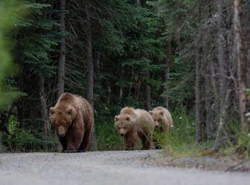 Säugetiere, hier Bären auf einer Straße in Polen, bewegen sich in Gebieten, die stark vom  Menschen geprägt sind, deutlich weniger als in der Wildnis. Image credit: © Adam Wajrak