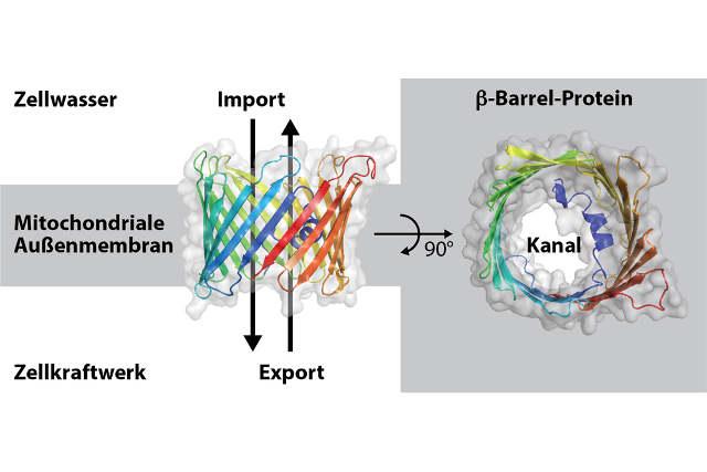 Modell des Beta-Barrel-Proteins Porin aus Bäckerhefe. Illustration credit: Christophe Wirth