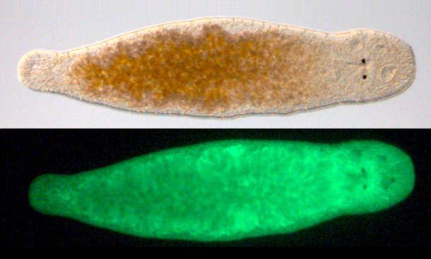 Oben ein lebender Macrostomum im Lichtmikroskop (die dunklen Punkte rechts sind die Augen) und das selbe Tier leuchtend grün (mit Green Fluorescent Protein); Das Tier ist ca. 1 mm groß. (Image credit: Constanze Ettl/Peter Ladurner)