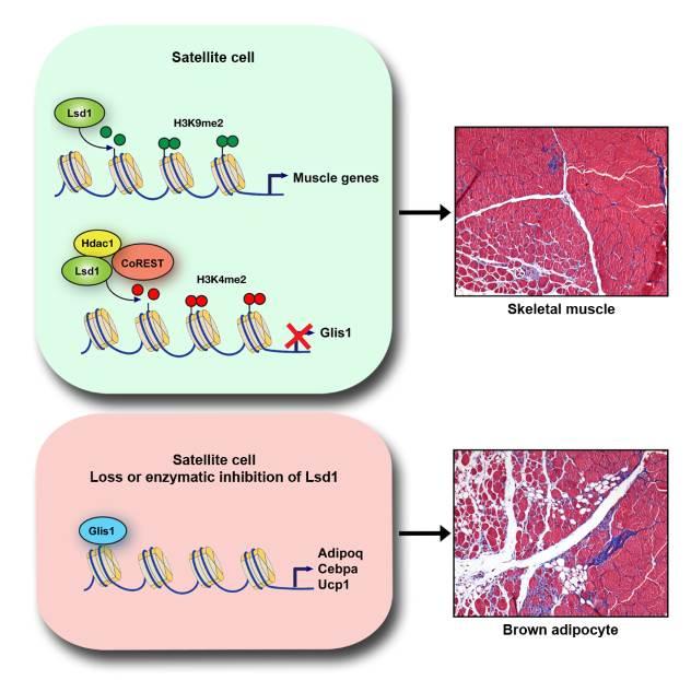 Lsd1 aktiviert bei bestimmten Stammzellen die muskelspezifische Genexpression und beschleunigt somit die Regeneration des Muskels (oben). Ein Entfernen des Enzyms bewirkt, dass die Satellitenzellen nicht in Muskel-, sondern in Fettzellen differenzieren (unten). Bild Quelle: Milica Tosic