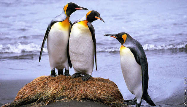 Über 70 Prozent der weltweiten Kolonien der Königspinguine könnten bald Teil der Vergangenheit sein, da die Klimaerwärmung die Vögel zwingt in südlichere Gebiete umzuziehen (Image copyright: Robin Cristofari).