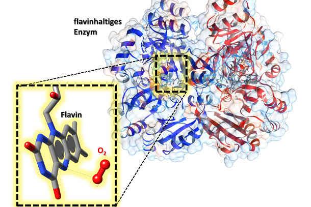 Im aktiven Zentrum des Enzyms sitzt ein Flavin-Kofaktor. In der Vergrößerung wird ersichtlich, dass in dessen Nähe Sauerstoff (O2) gebunden wird, was die Aktivierung des Flavins ermöglicht. Bild Quelle: Robin Teufel, Raspudin Saleem-Batcha