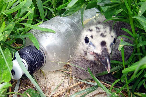 Ein Möwenküken neben einer angeschwemmten Plastikflasche. Immer mehr Kunststoffmüll landet in der Natur. Foto credit: NABU/Julia Baer