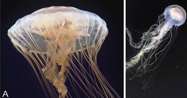 Two different jellyfish: At left, U.S. Atlantic sea nettle (Chrysaora quinquecirrha) and the Atlantic bay nettle (Chrysaora chesapeakei). Photos by Shannon Howard, South Carolina Aquarium; Keith Bayha
