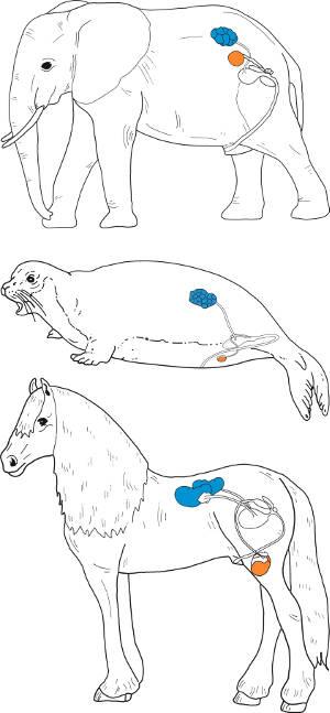 Position der Nieren (blau) und Hoden (orange) bei Elefant, Robbe und Pferd. Grafik credit: Lehmann & Eberhardt /Senckenberg