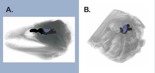 Bilder einzelner Scans von Fischgehirnen (blau = Region, die für Verarbeitung visueller Reize zuständig ist). A. Muräne. B. Fasanbutt. Bilder aus Iglesias et al. 2018